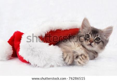 Blue silver Somali kitten resting in a santa hat - stock photo