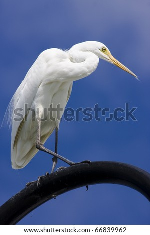 Blue Skies Behind A Great Egret Walking On A Beach Lamppost - stock photo