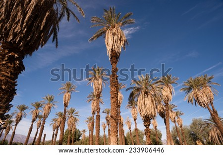 Blue skies make a good background for tropical palm trees in Death Valley - stock photo