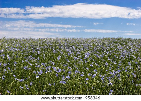 Blue sky and blue flax field - stock photo