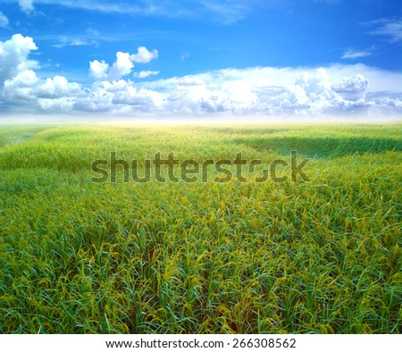 Blue sky and green rice - stock photo