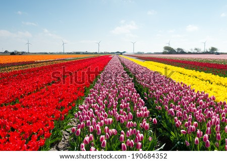 Blue sky and tulip field - stock photo