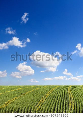 Blue sky with a clouds over field of blossoming and burgeon sunflowers. Ukraine