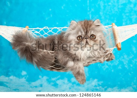 Blue Smoke Persian kitten in miniature white hammock on blue fake faux fur background - stock photo