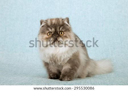 Blue smoke tortie Persian cat kitten sitting on blue background - stock photo