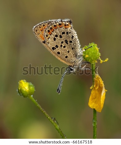 Blue Sooty Copper (Lycaena tityrus) sitting on top of a yellow flower with great background.