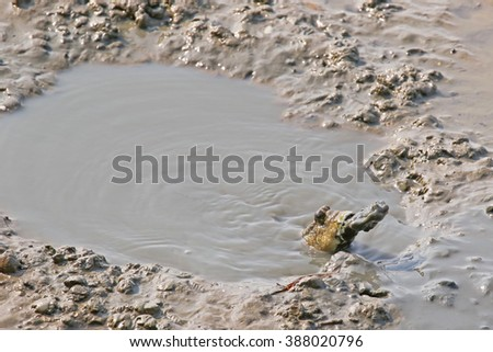 Blue spotted mudskipper spits out mud from its mouth. They uses mouth to dig deep burrow to escape from marine predators and raise their young