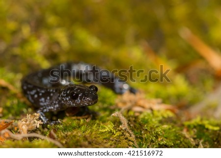 Blue-spotted Salamander - stock photo