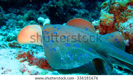Blue Spotted Stingray, Andaman Sea, Thailand