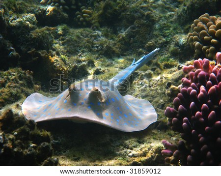 Blue-spotted stingray, Marsa Alam - stock photo