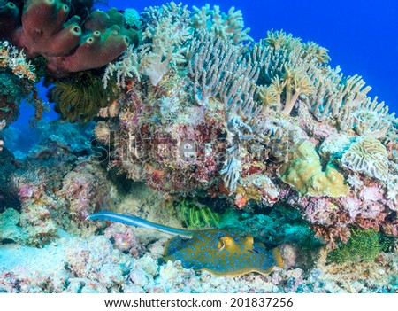 Blue Spotted Stingray sheltering under a lump of coral on a tropical reef - stock photo