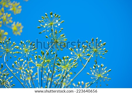 Blue Spring Floral Background with dill flower head reaching up to the blue sky - stock photo
