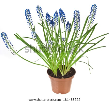 Blue Spring flowers Muscari in flowerpot Isolated on white background  - stock photo