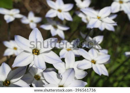 blue spring star flower field #2 - stock photo