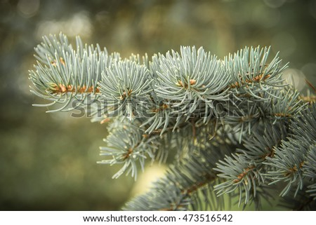 Blue spruce branches on a green background