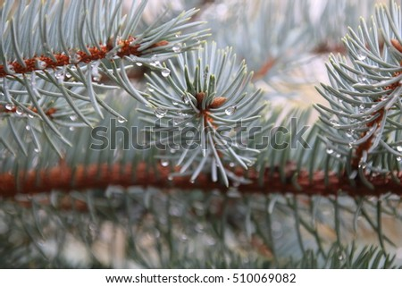 Blue spruce branches with drops of dew