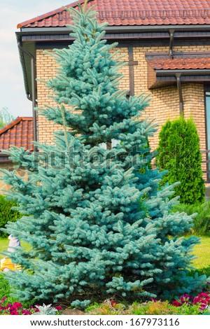 Blue spruce near the cottage - stock photo