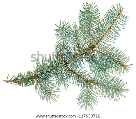 Blue spruce twig isolated on white, closeup view