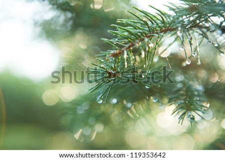 Blue Spruce with drops of dew, close up - stock photo
