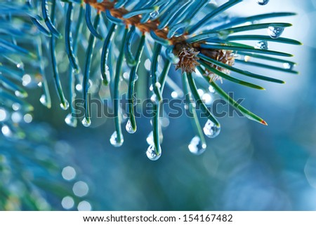 Blue Spruce with drops of water, macro - stock photo