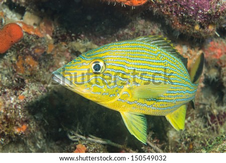 Blue stripe grunt in tropical waters - stock photo