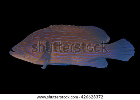 Blue striped cod fish/grouper fish on black background/colorful aquarium fish/tropical fish/swimming grouper/rare fish/tasty fish for cooking  - stock photo
