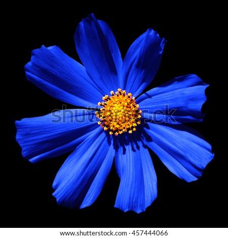 Blue surreal flower Primula macro isolated on black - stock photo