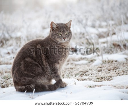Blue tabby cat in snow on a foggy winter morning - stock photo