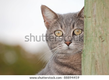 Blue tabby cat peeking from behind a fence post - stock photo