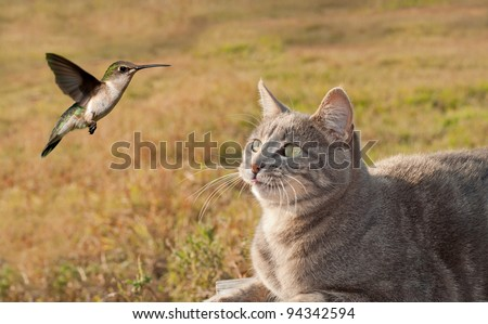 Blue tabby cat watching a Hummingbird hovering - stock photo