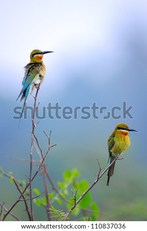 Blue Tailed Bee Eater bird of Thailand  on branch
