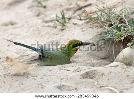 Blue tailed bee eater with a prey - stock photo