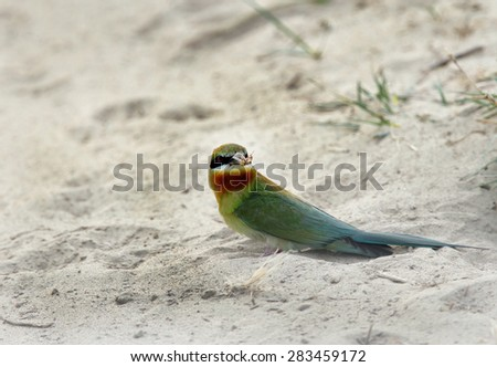 Blue tailed bee eater won sand - stock photo