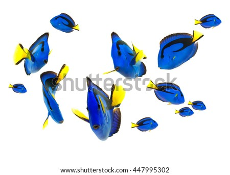 blue tang fish, marine life isolated on white background