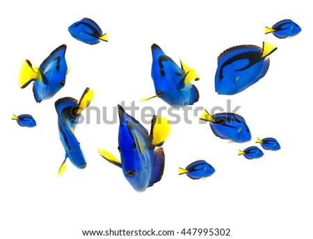blue tang fish, marine life isolated on white background  - stock photo