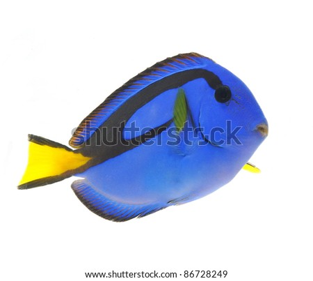 blue tang fish, marine reef fish isolated on white background - stock photo