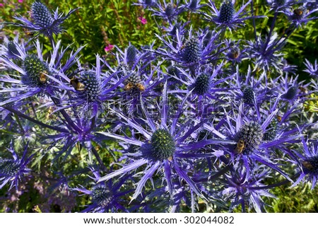 Blue thistle like flower of ERYNGIUM ALPINUM 'BLUE STAR' in a herbaceous border. - stock photo