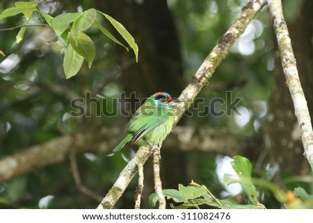 Blue-throated Barbet  perching on a branch in forest