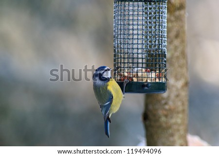 Blue Tit at a bird feeding in the garden - stock photo