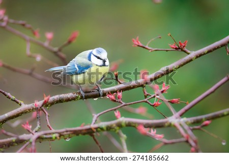 Blue tit bird sitting on the twig of a tree - stock photo