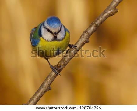 Blue Tit, Cyanistes caeruleus, Cinciarella - stock photo