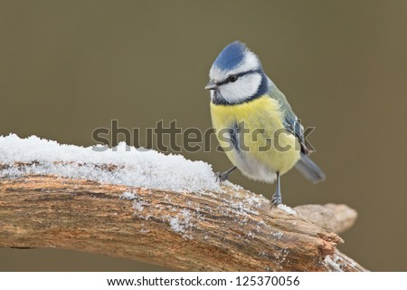Blue tit (Cyanistes caeruleus) in the snow. - stock photo