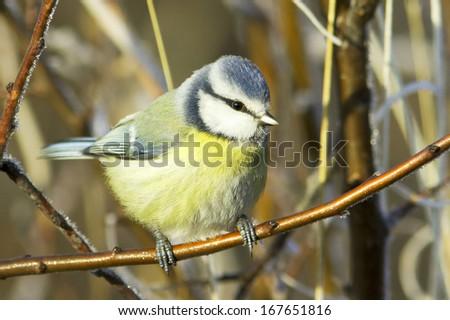 blue tit  / Cyanistes (Parus) caeruleus  - stock photo