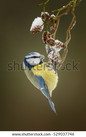 Blue tit hanging on a twig with snow on it.