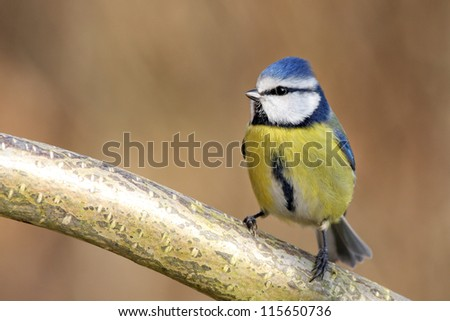 blue tit in a tree - stock photo