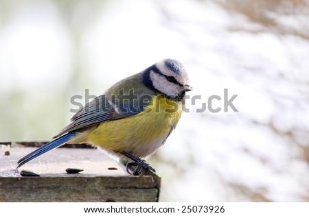 Blue tit in bird table - stock photo