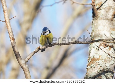 Blue Tit in the forest - stock photo