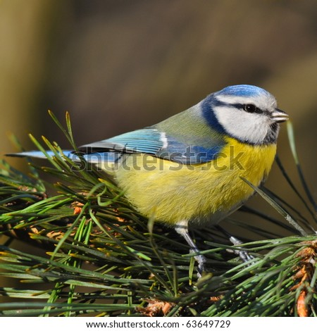 blue tit on a fir tree branch - stock photo