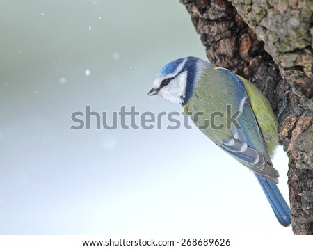 Blue tit on a hollow  trunk in snowfall - stock photo