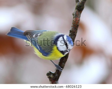 Blue tit on a icy branch - stock photo